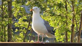 Rasmus, a gaivota lofoten Noruega Fotos de Stock Royalty Free
