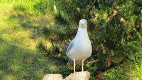 Rasmus, the seagull. Lofoten Stock Image