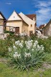 Rasnov城堡内在countryard的春天视图,在布拉索夫县(罗马尼亚),有在前景的开花的白色虹膜的和 库存图片