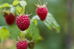 Raspberries Royalty Free Stock Photos
