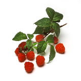 Raspberries. Still life of Raspberry fruit with vine and leaves Stock Photos