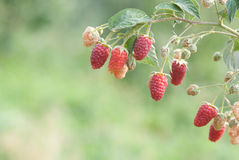 Raspberries. Close-up raspberries on the natural green background Stock Photography