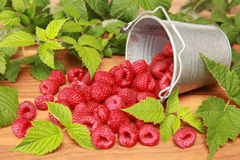 Raspberries. With leaves falling out of a bucket royalty free stock images