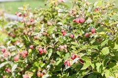 Raspberries. Close up of raspberry bush with raspberries Stock Images