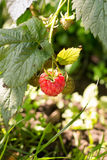 Raspberries. Shot of raspberries growing in the garden Royalty Free Stock Image