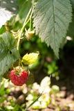 Raspberries. Growing in the home garden Stock Photography