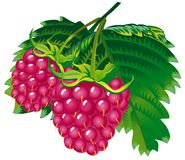 Raspberries. Raster version of vector image of raspberries Royalty Free Stock Photo