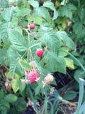 raspberries Foto de Stock