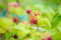 raspberries Foto de Stock Royalty Free
