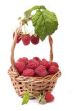 Raspberries in a basket and a few berries Royalty Free Stock Images
