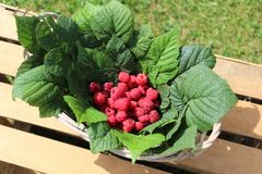 Raspberries in a basket. The picture shows fresh raspberries in a basket stock photography