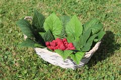Raspberries in a basket. The picture shows fresh raspberries in a basket royalty free stock photos