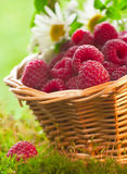 Raspberries in the basket Stock Images
