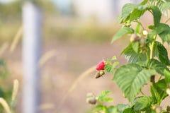 Raspberries berry Royalty Free Stock Photos