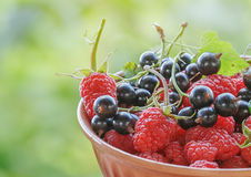 Raspberries and black currants and are collected in a ceramic bowl. Royalty Free Stock Photo