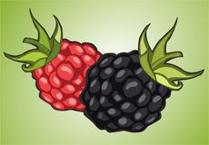 Raspberries and blackberries Stock Photos