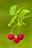 Raspberries on blurred background Royalty Free Stock Images