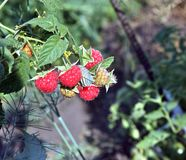 Raspberries on a branch close up Royalty Free Stock Photos