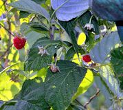 Raspberries on a branch close up Stock Photography