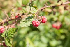 Raspberries on a branch. Close-up of the ripe raspberry  in the fruit garden Royalty Free Stock Images