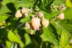 Raspberries on a branch. Close-up of the ripe raspberry  in the fruit garden Stock Images