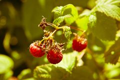 Raspberries on a branch Royalty Free Stock Photography