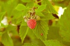 Raspberries on a branch Stock Photos