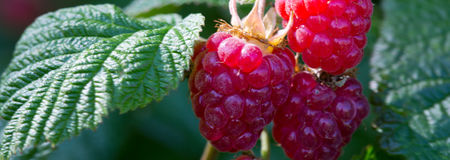 Raspberries on a branch close up. Royalty Free Stock Photography
