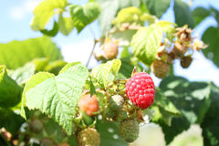 Raspberries on a branch Royalty Free Stock Photos