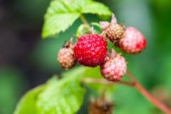 Raspberries on the branch Stock Photo