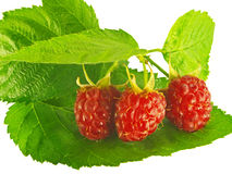Raspberries on a branch with green leaves. Isolated stock image