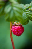 Raspberries. On a branch with greens Royalty Free Stock Photos