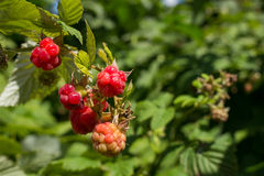 Raspberries on branch is ripening in sunny summer day closeup and raspberry bushes on background. Ripe raspberries on branch is ripening in sunny summer day Royalty Free Stock Images