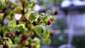 Raspberries in the breeze stock video