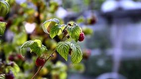 Raspberries in the breeze stock video