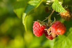 Raspberries bush Stock Photography