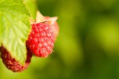 Raspberries bush Stock Photo