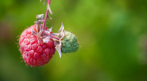Raspberries on the bush Royalty Free Stock Images