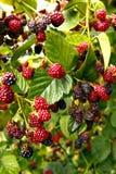 Raspberries on a bush Royalty Free Stock Photos