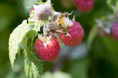 Raspberries on a bush. With leaves and blurry background Royalty Free Stock Photography