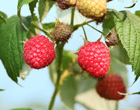 Raspberries on the bush. Royalty Free Stock Photography