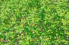 Raspberries bushes Stock Photography