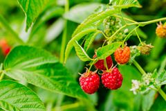 Beautiful ripe raspberries on branches. Raspberries close-up of red color on a green background Stock Photography
