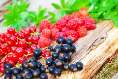 Raspberries and currants. Freshly harvested Stock Images