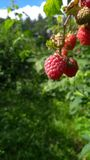 Raspberries in daylight. Photo of raspberries made in daylight. True nature Royalty Free Stock Photography