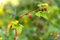 Raspberries in the forest royalty free stock image