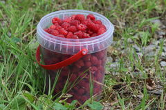 Raspberries. Fresh raspberries in the bucket Stock Photography