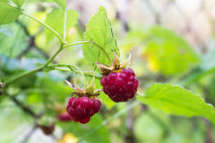 Raspberries in garden Stock Photos