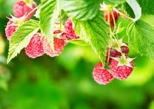 Raspberries in a garden Stock Image