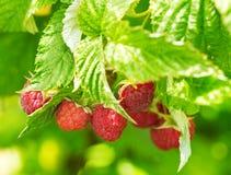 Raspberries in a garden Royalty Free Stock Photo